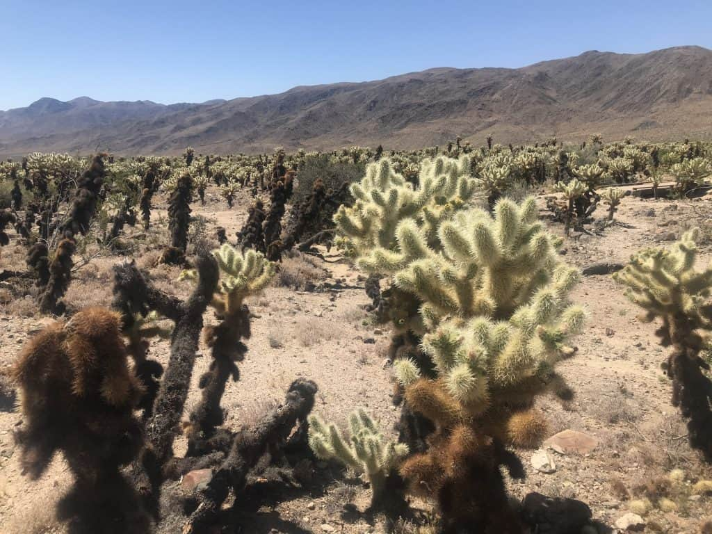 Chulla Vista Cactus Garden. Best 5 things to do in Joshua Tree National Park on a day